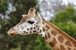 New Giraffe Barn at Oakland Zoo