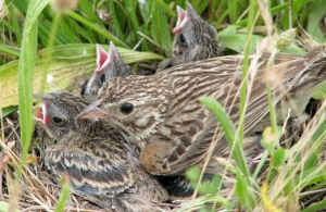 Calls for Oregon Vesper Sparrow to be Listed under the Endangered Species Act