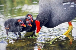 Endangered Hawaiian Gallinules Killed by Feral Cats on Kaua'i